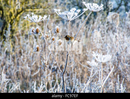 Robin on a Frosted Hogweed Plant - Stock Image