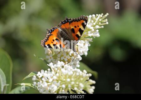 Small Tortoiseshell butterfly Aglais urticae feeding on white Buddleja / Buddleia flowers - Stock Image
