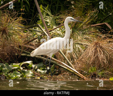 The little egret (Egretta garzetta), a species of small heron in the family Ardeidae,  in the swamps of Mabamba, Lake Victoria, Uganda - Stock Image