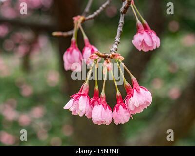 Early cherry blossom in Kitanomaru Park, Tokyo, Japan. - Stock Image