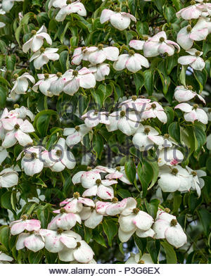 Flowers and white and pink bracts of a Cornus Kousa var. Chinensis at Wisley Gardens, Surrey UK. - Stock Image