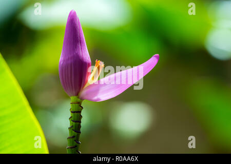 Musa sapientum banana tree flower, Guadeloupe, French West Indies. - Stock Image