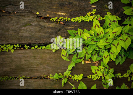 Coleus leaves growing out of wooden walkway in a shady garden in north east Italy - Stock Image