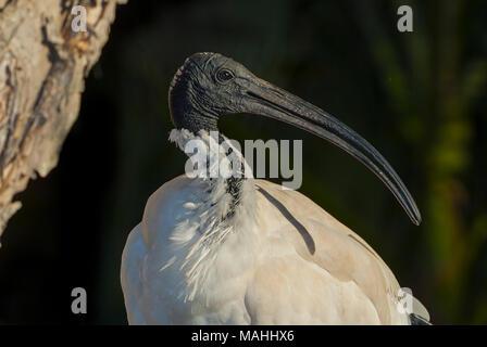 Australian White Ibis, Queensland, Australia - Stock Image