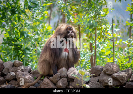 Gelada (Theropithecus gelada, sometimes called the bleeding-heart monkey or the gelada 'baboon', is a species of Old World monkey found only in the Et - Stock Image