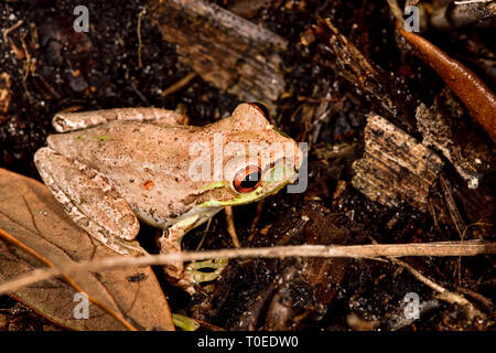 Cuban treefrog on the forest floor - Stock Image