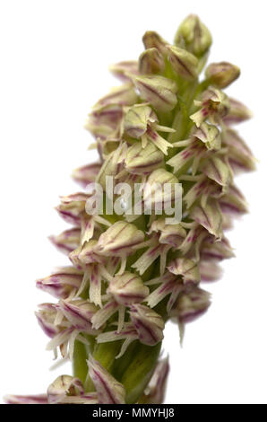 Close up on the flowers of a Ligther form of a wild Dense flowered Orchid inflorescense (Neotinea maculata) isolated over a white background. Vila Viç - Stock Image