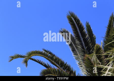 Palm tree branches and blue sky from below. Photographed in a paradise island called Madeira. In this photo you can see multiple palm leaves. - Stock Image