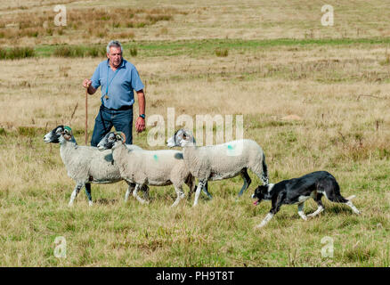 The World Famous Longshaw Sheep Dog Trials -  The Peak District, Derbyshire, UK - Stock Image