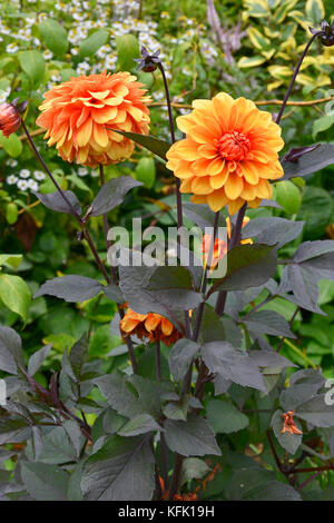Dahlia 'David Howard'  close up in a cottage gardens flower border - Stock Image