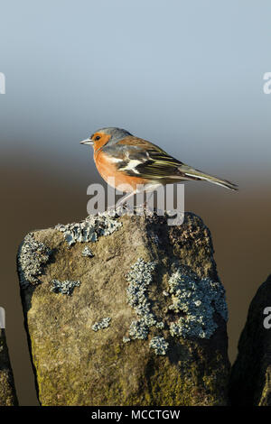 Male chaffinch, Latin name Fringilla coelebs, standing on top of a drystone wall against a blue sky - Stock Image