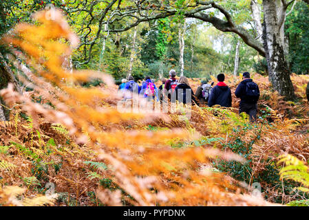 Walking group of  ramblers  in  the forest and bracken  during the New Forest National Park walking festival - Stock Image
