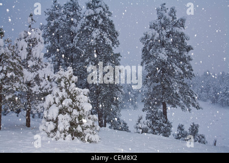 Snowstorm with flash on falling snowflakes in ponderosa pine forest, Flagstaff, Arizona, USA - Stock Image