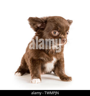 Small brown longhaired chihuahua puppy sitting and looking at camera. Isolated on white - Stock Image