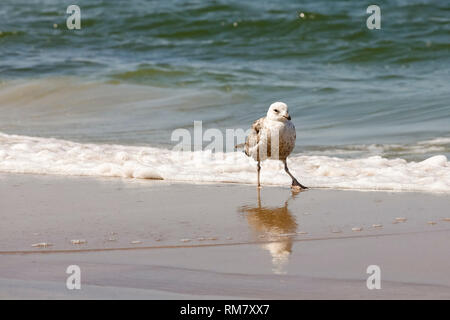 One seagull dances on the beach which was observed on the border of the Baltic Sea and the sandy beach in Kolobrzeg, Poland. - Stock Image