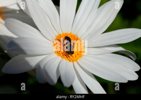 A small bee gathers pollen on the flower of a giant marguerite. - Stock Image