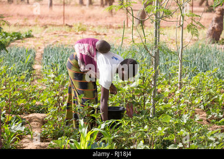 Samba village, Yako Province, Burkina Faso : Collette Guiguemde working in her husband's market garden, harvesting okra. - Stock Image