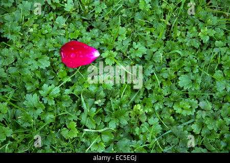 single rose petal in the grass - Stock Image