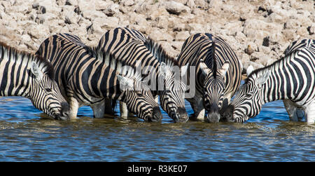 Africa, Namibia, Etosha National Park, Zebras at the Watering Hole - Stock Image