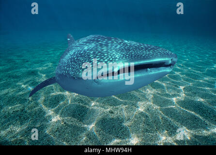 Whale Shark (Rhincodon typus) feeding on plankton, Cocos Island, Costa Rica - Pacific Ocean. Image digitally altered to remove distracting or to add m - Stock Image