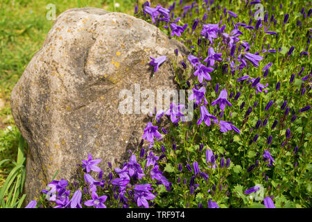 Purple flowers on a perrenial herbaceous campanula plant, commonly called bellfower, growing in north east Italy - Stock Image