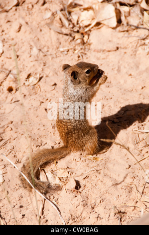 USA Utah, Zion National Park. Temple of Sinawava, ground squirrel - Stock Image