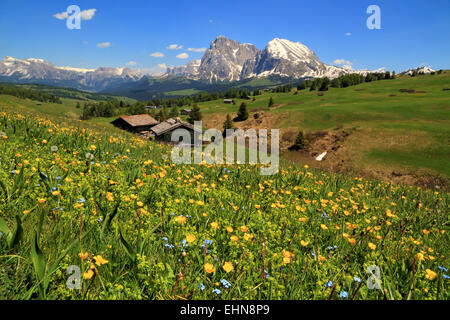 Spring flower meadow Seiser Alm, / Alpe di Siusi - Stock Image