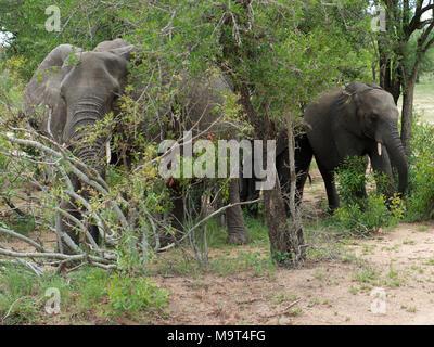 Elephants at Nyamundwa, Kruger National Park, South Africa - Stock Image