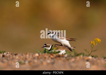 Little ringed plovers (Charadrius dubius), mating animal couple, Middle Elbe Biosphere Reserve, Dessau-Roßlau, Saxony-Anhalt - Stock Image
