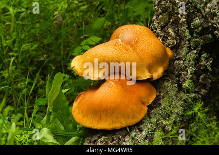 Lateral view of two large golden mushrooms (Gymnopilus suberis) growing on the crevices of a dead cork tree log against. Arrabida mountains, Portugal. - Stock Image