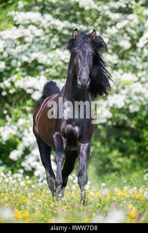 Lusitano. Juvenile black stallion standing on a pasture in spring. Switzerland - Stock Image