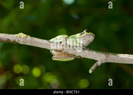 European tree frog (Hyla arborea), in the Auvergne, France. - Stock Image
