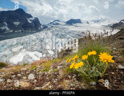Flower at the Fee Glacier - Stock Image
