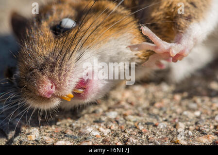Closeup of dead mouse on ground - Stock Image