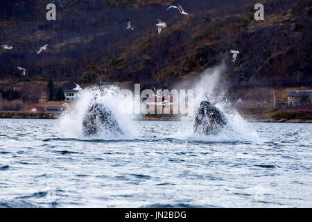 Humpback Whale (Megaptera novaeangliae) lunge feeding in fjords of Norway - Stock Image