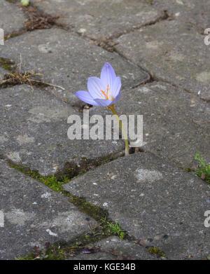 An autumn flowering crocus flower forces its way through brick paving. Bedgebury Forest, Kent, England. UK. - Stock Image