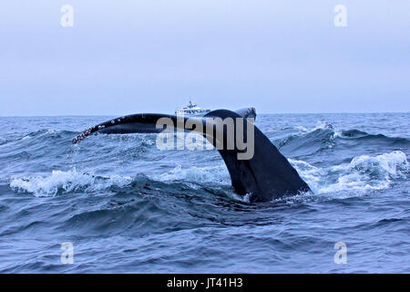 Illusion photo of a Humpback Whale raising a small boat on the water with its fluke - Stock Image