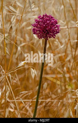 Close up of Allium ampeloprasum Wild Leek  growing wild in a cornfiled in the Cyprus countryside - Stock Image