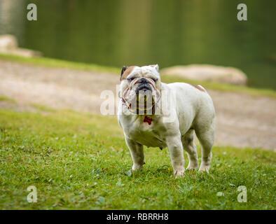A brown and white English Bulldog running on the lawn looking playful and cheerful. The Bulldog is a muscular, heavy dog with a wrinkled face and a di - Stock Image