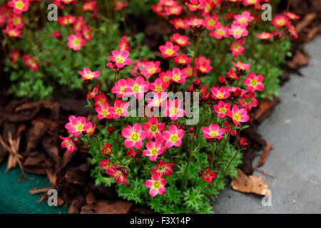 plant in flower - Stock Image