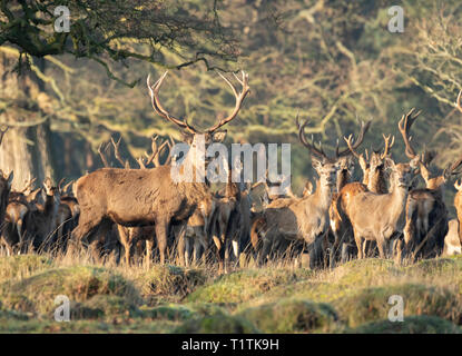 Herd of Red Deer and Hinds at Berkeley Deer Park. - Stock Image