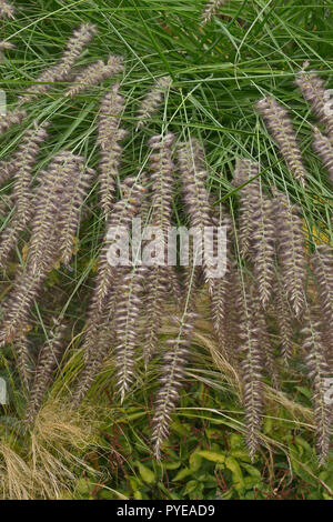 Close up of grass Pennisetum orientale Karley Rose  in a garden border - Stock Image