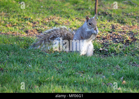 Picture of cute squirrel, standing on hind legs, eating a seed. - Stock Image