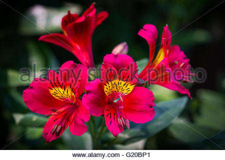Alstroemeria, commonly known as the Peruvian lily or lily of the Incas - Stock Image