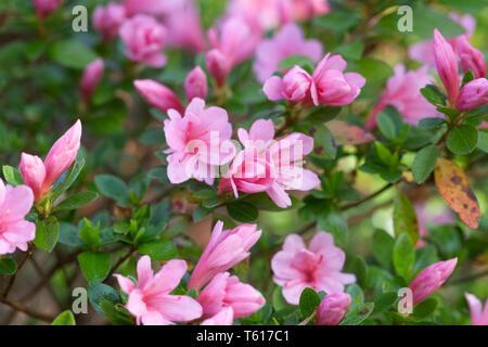 Rhododendron 'Kirin' flowers. - Stock Image