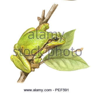tree frog hyla arborea - Stock Image