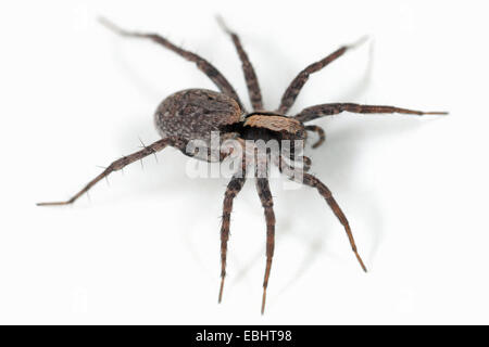 A female Burnt Wolf spider (Xerolycosa nemoralis) on a white background. Wolf spiders are part of the family Lycosidae. - Stock Image