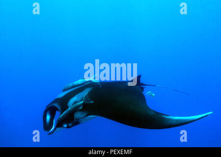 Pacific Manta Ray (Manta Birostris) in the Blue. Cano Island, Costa Rica - Stock Image