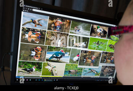 Woman sitting at a computer monitor browsing through wildlife images on a stock photography website. - Stock Image