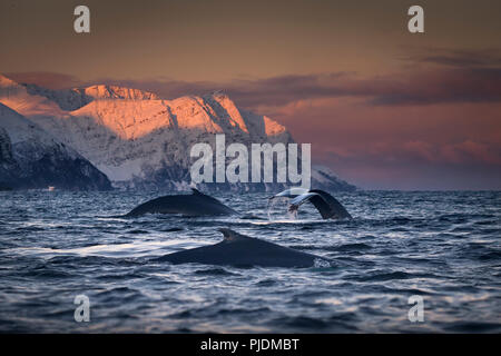 Group of humpback whales diving, Skjervøy, Troms, Norway - Stock Image